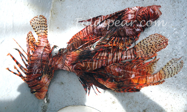 Lionfish ready to be cleaned