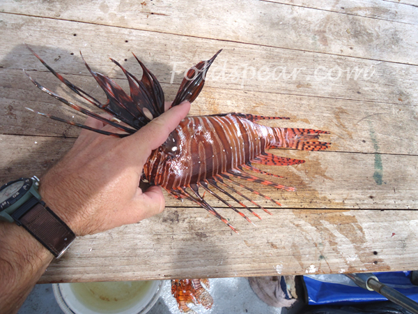 Preparing the lionfish for filleting