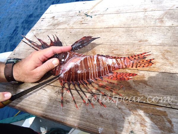 Cutting the lionfish behind the gills