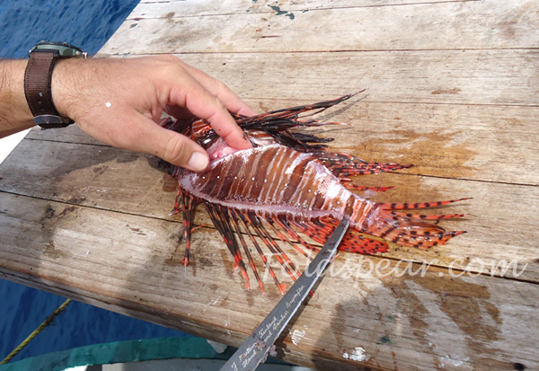 Cutting the lionfish along the dorsal toward the tail