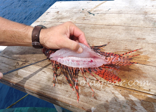 Cleaning the lionfish fillet off of the bone