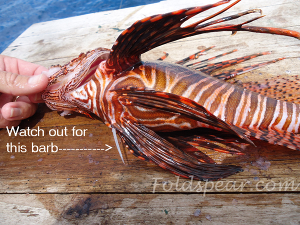 The most hazardous barb on the lionfish when cleaning